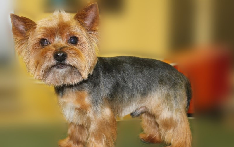 Best ideas about Yorkie Hairstyles For Males . Save or Pin Yorkie haircuts for males and females 60 pictures Now.