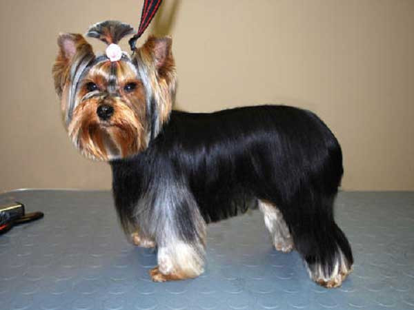 Best ideas about Yorkie Hairstyles For Males . Save or Pin 100 Yorkie Haircuts for Males Females Yorkshire Now.