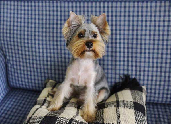 Best ideas about Yorkie Hairstyles For Males . Save or Pin Yorkie Haircuts 100 Yorkshire terrier Hairstyles Now.