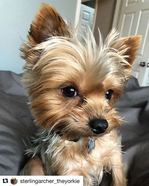 Best ideas about Yorkie Hairstyles For Males . Save or Pin Best 25 Yorkie ideas on Pinterest Now.