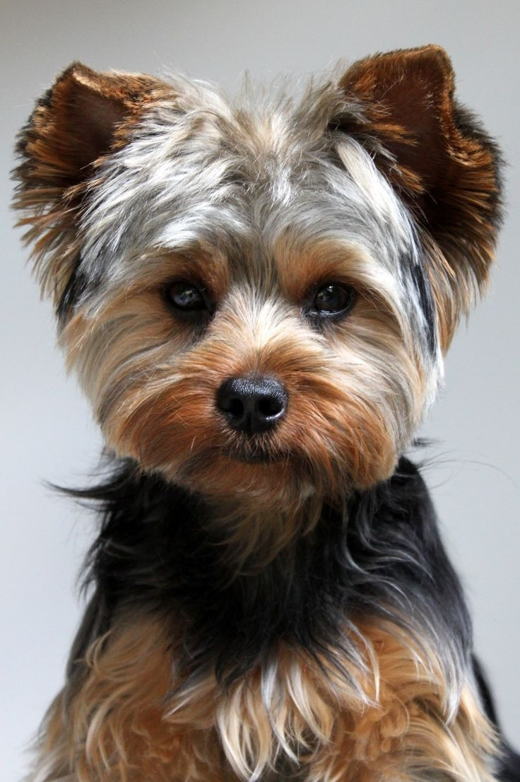 Best ideas about Yorkie Hairstyles For Males . Save or Pin Yorkie Hairstyles For Males Now.