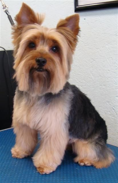 Best ideas about Yorkie Hairstyles For Males . Save or Pin 1000 images about Yorkies haircuts on Pinterest Now.