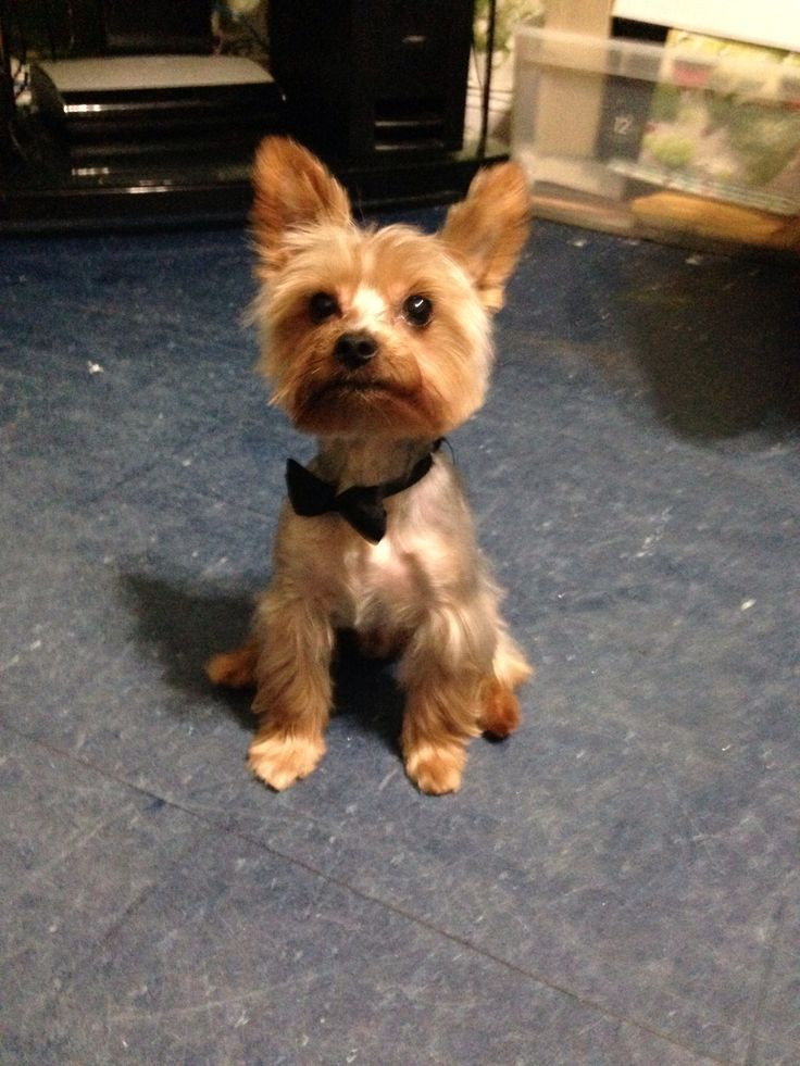 Best ideas about Yorkie Hairstyles For Males . Save or Pin Best 20 Yorkie hairstyles ideas on Pinterest Now.